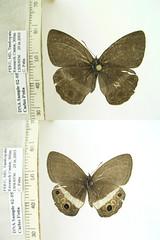 Splendeuptychia ashna