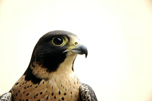 Demeter - Peregrine Falcon
