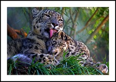 _MG_7509 (Ralston Images) Tags: animal cat canon zoo utah feline wildlife saltlakecity leopard jaguar puma panther snowleopard hoglezoo canon5dmkii jrphotography flickrbigcats wildcatworld pantheraunciauncia jasonralstonphotography