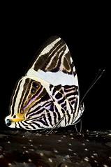 Mariposa Mosaico / Colobura dirce wolcotti / Dirce Beauty / Mosaic (Carlos De Soto Molinari) Tags: dircebeauty colobura mariposasdelahispaniola mariposasdelarepublicadominicana mariposamosaicomariposas coloburadircewolcotti mosaicbuttefly