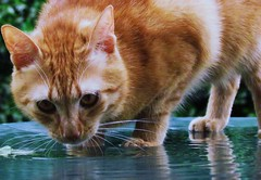 Paco (monicaloves) Tags: water jesus acqua redcat gattorosso friendsofzeusphoebe