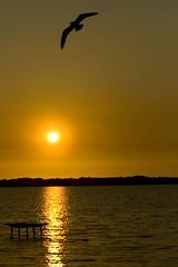 Fly in a golden sky................ (maxpiemontese) Tags: sky sun me ma golden tramonto ne un solo e po sole sono gabbiano liberta adesso storto lorizzonte foglianolake maxpiemontese stavoaspettandocheilgabbianoentrassenellinquadratura accorto