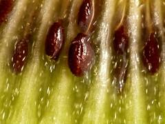 Kiwi [1120089] (acmelucky777) Tags: macro nature closeup fruit germany deutschland foto searchthebest natur panasonic nrw nah kiwi makro mode dmc nahaufnahme westfalen fz50 nordrhein raynox makroaufnahmen alsdorf 超微距 magicofaworldinmacro
