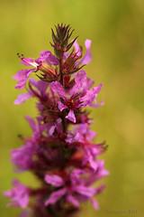 Bloem langs Boelekeerlspad (Dimormar!) Tags: flower dof achterhoek roze bloem zelhem boelekeerlspad wildebloem