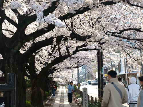 20080405 哲学の道・鴨川の桜 006