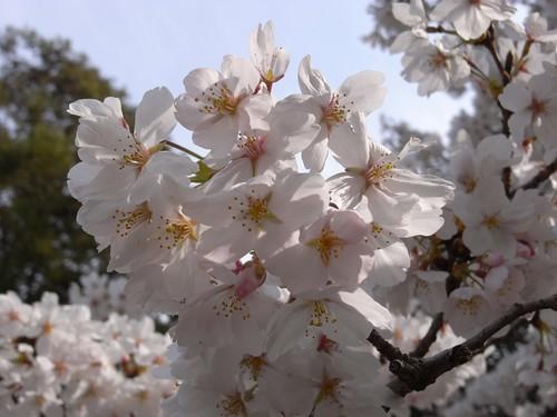 当麻寺(桜)-06