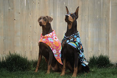 Groovey Show Capes (hoverfly) Tags: dog dogs giant sweater clothing coat large jacket doberman etsy custom hoverfly groovey dogsweater dogcoat aoe dogjacket idahoindieworks iiwteam showcape dobermansweater hoverflyetsycom dobermancoat dobermanjacket