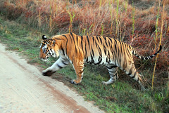 fear factor (JacBach) Tags: park india nationalpark tiger fearfactor bandhavgarh tigerreserve bitu 408169073m