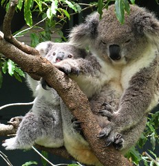 Don't Let Me Fall, Mom! (Sandra Leidholdt) Tags: bear baby nature animal animals zoo bears natureza natur sydney australian australia koala newsouthwales animales animaux marsupials animali taronga babyanimal babyanimals koalabears sandraleidholdt leidholdt sandyleidholdt