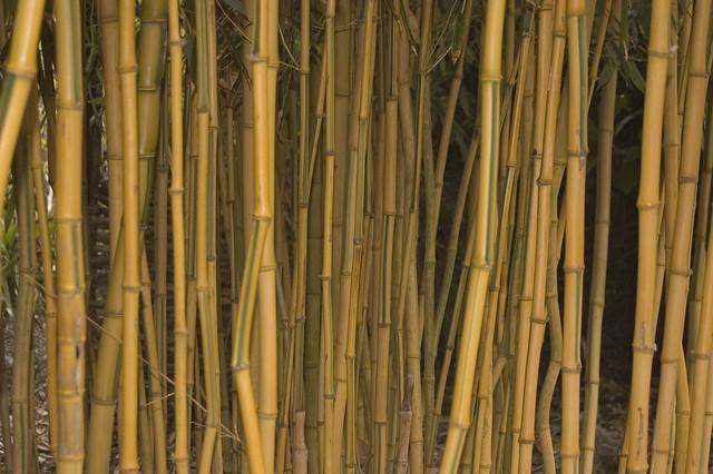 Photo: Yellow Groove Bamboo