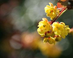 Berberis flowers (Mukumbura) Tags: flowers macro yellow bokeh berberis blueribbonwinner supershot platinumphoto diamondclassphotographer goldstaraward awesomeblossoms