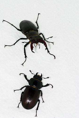 Male and female Lucanus cervus
