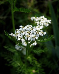 common yarrow (achillea millefolium)
