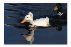 Elvis spotted in local lake (Barbara J H) Tags: bird duck elvis australia qld waterfowl buderim domesticduck whiteduck crestedduck featheryfriday whitecrestedduck barbarajh northbuderimlake
