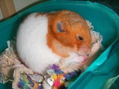 20080419-12 (kayako_) Tags: hamster pon