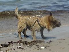 Shake, Otto shake (osto) Tags: dog chien pet beach animal cane geotagged denmark europa europe action sony cybershot perro terrier zealand otto pies scandinavia danmark cairnterrier kpek dscf828 sjlland  osto june2008 osto