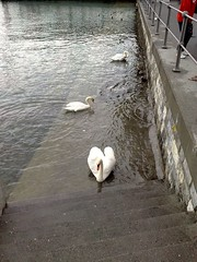 S-20080531220 (ABC 77) Tags: urban birds switzerland suisse swans lucerne     lucernelake nokian82