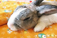 fukusuke-pon  (fukusuke-pon ) Tags: rabbit bunny