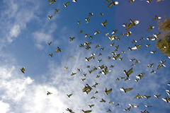 pigeons flight (cricketk) Tags: sky flying wings pigeons gpa gpa1 neilhawkinspark