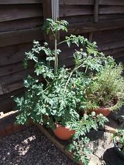 Tomato Plants #3