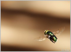 Mosca varejeira (eduhhz) Tags: mother cy mosca voo voando bigmomma varejeira challengeyouwinner duetos a577