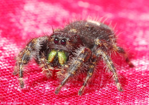 jumping_spider 7