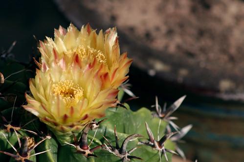 Cactus flower (Ferocactus latispinus - Devil's Tongue Barrel)