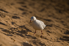 """Seagull at Mindil Beach (Ollieography """"Aliquot of Time Photography"""") Tags: sunset colour water sunsets australia darwin mindilbeach"""