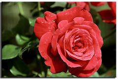 Red Rose (Muzammil (Moz)) Tags: uk landscape manchester photography redrose moz mozzy conon400d afraaz muzammilhussain