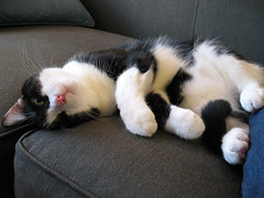 Fuzzy Oliver (Mr.TinDC) Tags: cats pets animals oliver tuxedocats kitties felines moggy blackandwhitecats blackwhitecats