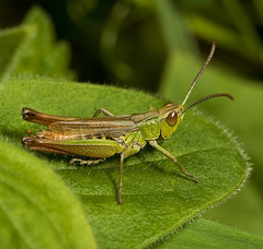 "Grasshopper(14) • <a style=""font-size:0.8em;"" href=""http://www.flickr.com/photos/57024565@N00/2762761067/"" target=""_blank"">View on Flickr</a>"