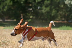 Flying Henry (Anda74) Tags: henry bassethound canonef70200mmf4lusm