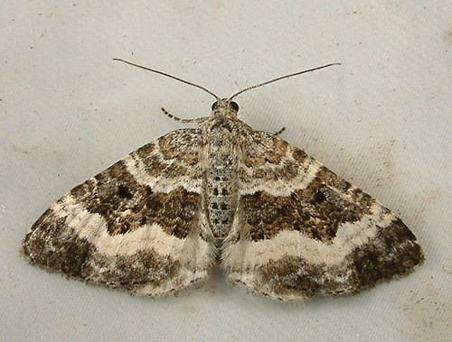 1259 Epirrhoe alternata - White-Banded Carpet Moth 7394