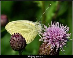 Bulging eyes (ironmanphoto) Tags: flower macro eye nature butterfly natura bulging kwiat motyl