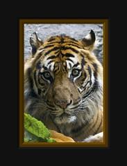 Yes, its is you I am looking at... (Arie van Tilborg) Tags: sumatra indonesia tiger sumatrantiger tijger sumatraansetijger tilborg arievantilborg vosplusbellesphotos