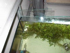 Bubble nest (Mihnea Stanciu) Tags: plants fish aquarium tank nest nursery fishtank tropical betta bettasplendens gourami tropicalfish splendens bubblenest vechi bublle vechituri anabantidae breedingtank