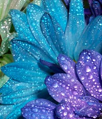 Dew (Mustangaly911) Tags: blue flower petals purple kodak dew moisture purpleandblue almostanything mustangaly colourartaward colourartawards colourvisions