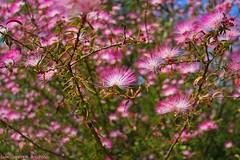 Excessos (Luiz Henrique Assuno) Tags: flores canon eos flor velviaeffect 40d licassuncao caliandrarosa