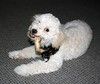 He only looks cute ... (Graustark) Tags: dog pet white puppy chewing rawhide dinky ratapoo ratoodle ratterrierpoodlemix