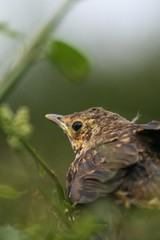 It's definately Spring - thrush fledgeling (famkefonz) Tags: thrush fledgeling