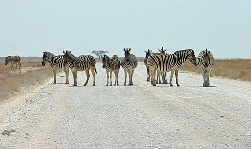 Zebra on the road to Okondeka waterhole