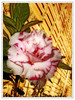 Ah, a florzinha do meu jardim! (Jessica Aquino) Tags: flower color cores searchthebest natureza flor formas naure mywinners rosaebranco