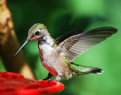 Female Ruby-throated Hummingbird (*Cristiana*) Tags: birds nikon hummingbird naturesfinest magnificenthummingbird backyardbirds littlebirds specanimal mywinners beautifulmothernature anawesomeshot elitephotography betterthangood goldstaraward natureselegantshots alemdagqualityonlyclub thewonderfulworldofbirds