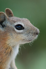 Golden-mantled Ground Squirrel (Kayleigh McCallum) Tags: animals squirrel natures goldenmantledgroundsquirrel specanimal