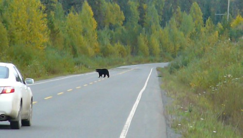 Oso negro cruzando la ruta , Cassiar Highway