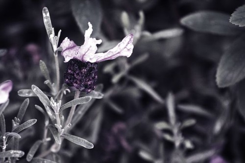 Old Fashioned French Lavender with Mono Bokeh