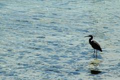 egret (Jellibat) Tags: grey gray reef eastern egret wading seaocean birdheronislandqueenslandgreatbarrierreefcapricorniacoralcay
