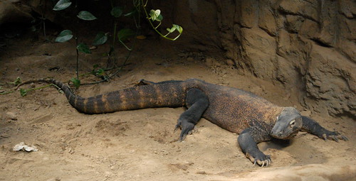 Saint Louis Zoological Garden, in Saint Louis, Missouri, USA - komodo dragon