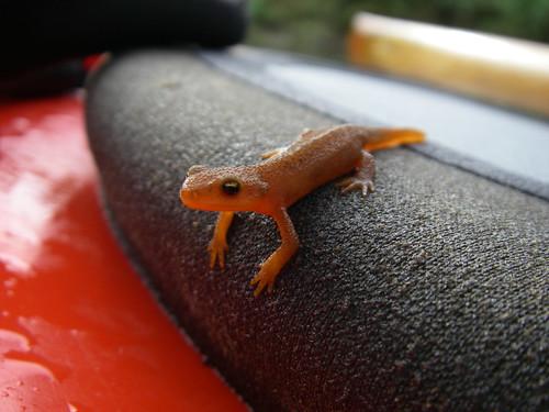 tiny newt!