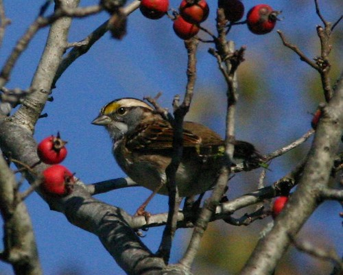 White-throated Sparrow 20081004